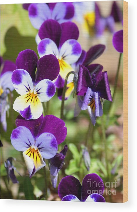 Viola Wood Print featuring the photograph Sweet Viola by Carol Groenen