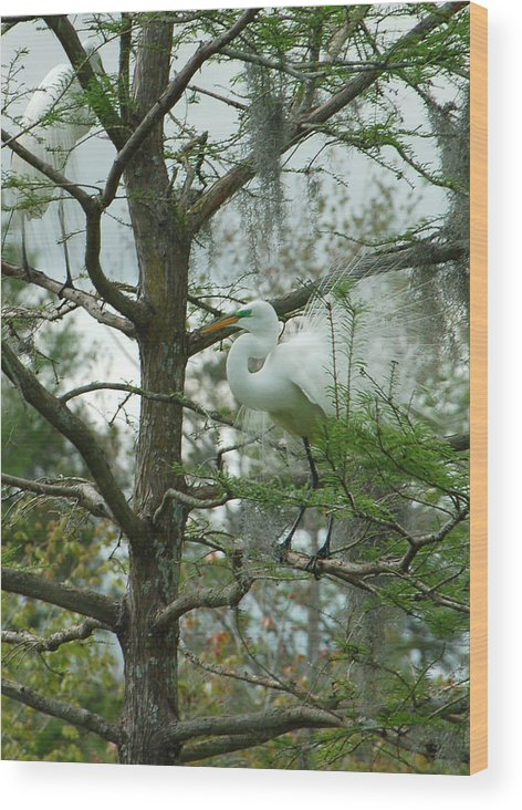 Egret Wood Print featuring the photograph The Mating Dance by Suzanne Gaff