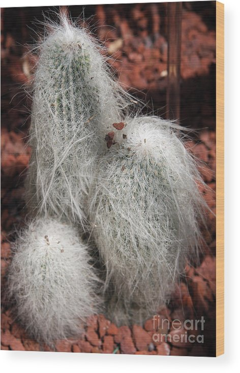 Cactus Wood Print featuring the photograph White Bearded by Christiane Schulze Art And Photography