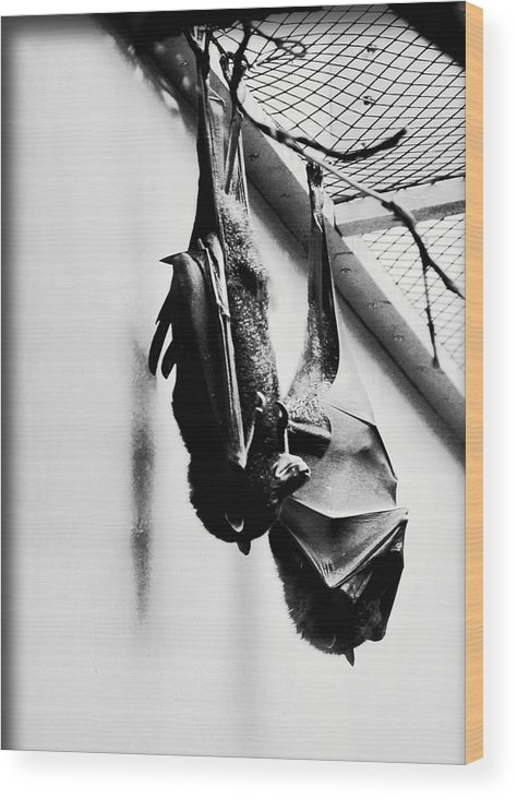 Bat Wood Print featuring the photograph Just Hanging Around by Brittany Horton