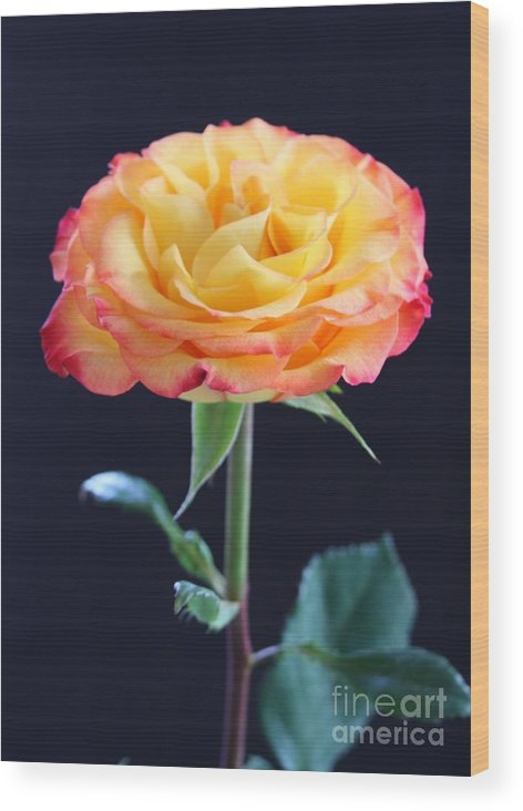 Rose Wood Print featuring the photograph Rose3 by Gayle Johnson