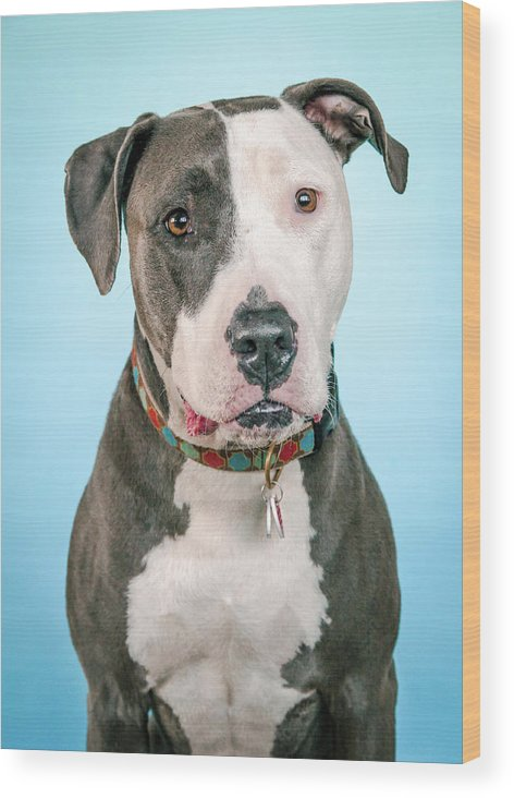 Dog Wood Print featuring the photograph Cara by Pit Bull Headshots by Headshots Melrose