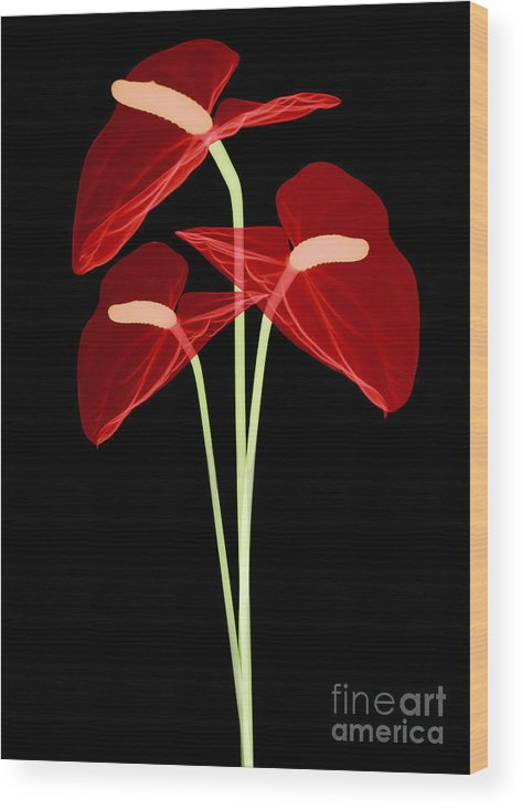 Science Wood Print featuring the photograph Anthurium Flowers, X-ray by Ted Kinsman