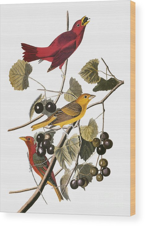 1838 Wood Print featuring the photograph Audubon: Tanager by Granger