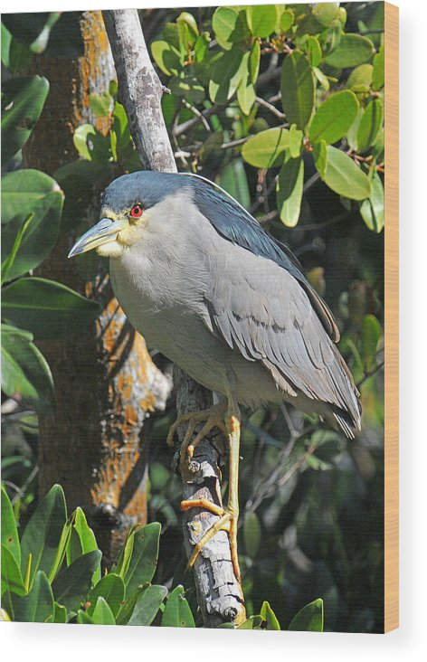 Heron Wood Print featuring the photograph Black Crowned Night Heron by Alan Lenk