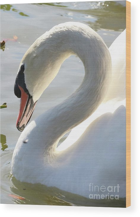 Coy Wood Print featuring the photograph Coy Swan by Carol Groenen