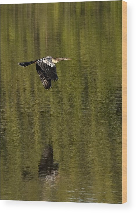 Artistic Wood Print featuring the photograph Darter by Gouzel -