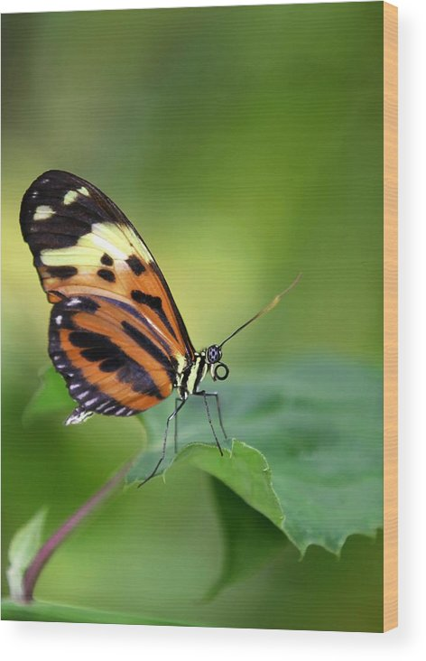 Butterfly Wood Print featuring the photograph Delicate Butterfly by Sabrina L Ryan