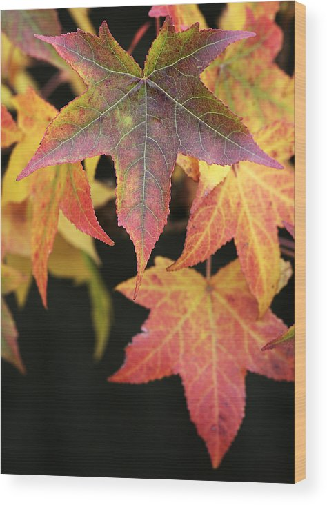 Maple Wood Print featuring the photograph Maple Leaves by Neil Overy