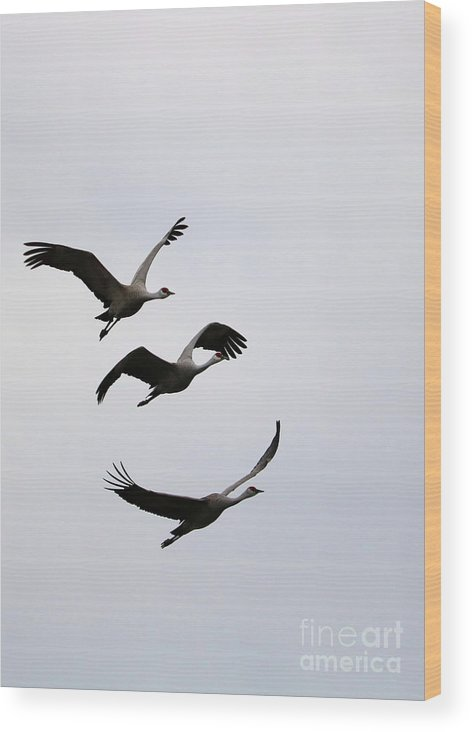 Sandhill Cranes Wood Print featuring the photograph Peaceful Sandhill Cranes Flying by Carol Groenen