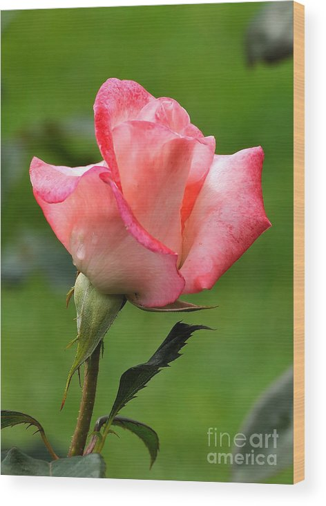 Rose Wood Print featuring the photograph Pink Rose 3 by Edward Sobuta