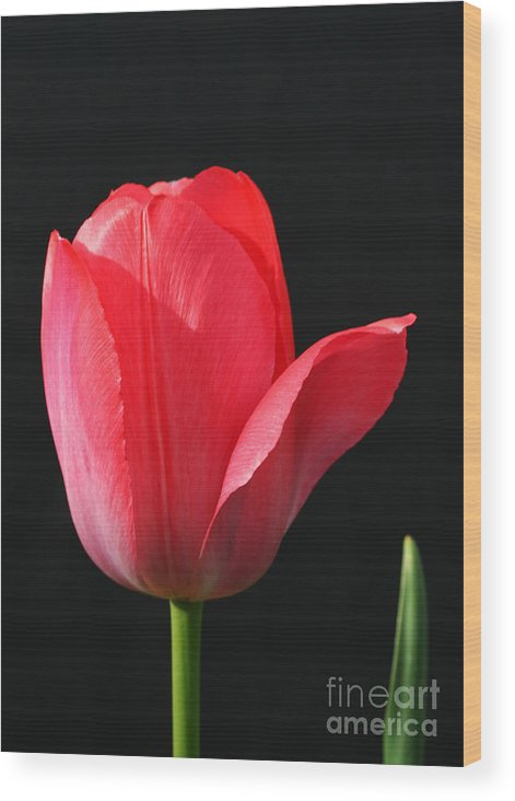 Tulip Wood Print featuring the photograph Red Tulip by Steve Augustin