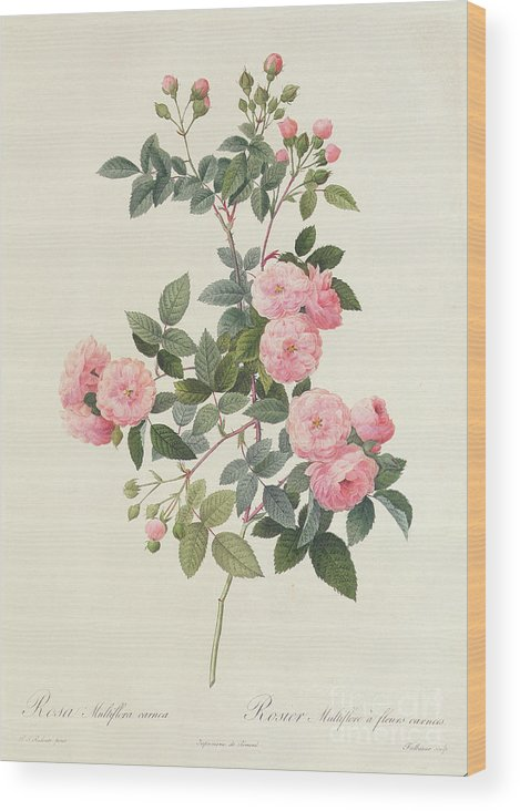 Rosa Wood Print featuring the drawing Rosa Multiflora Carnea by Pierre Joseph Redoute
