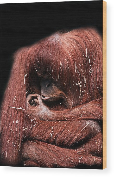 Orangutan Wood Print featuring the photograph Scrutiny by Lesley Smitheringale