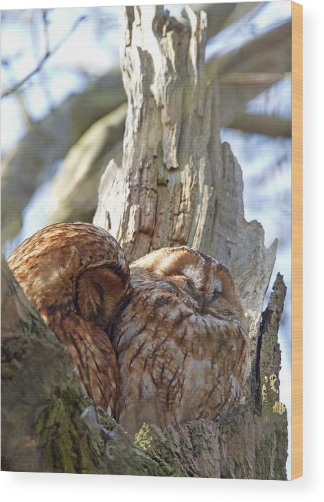 Tawny Owl Wood Print featuring the photograph Tawny Owls In Love by Bob Kemp