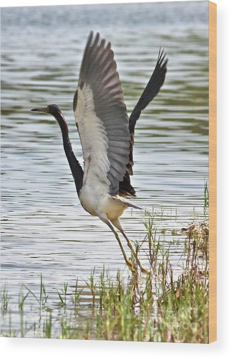 Bird Wood Print featuring the photograph Tri Colored Heron Takeoff by Carol Groenen
