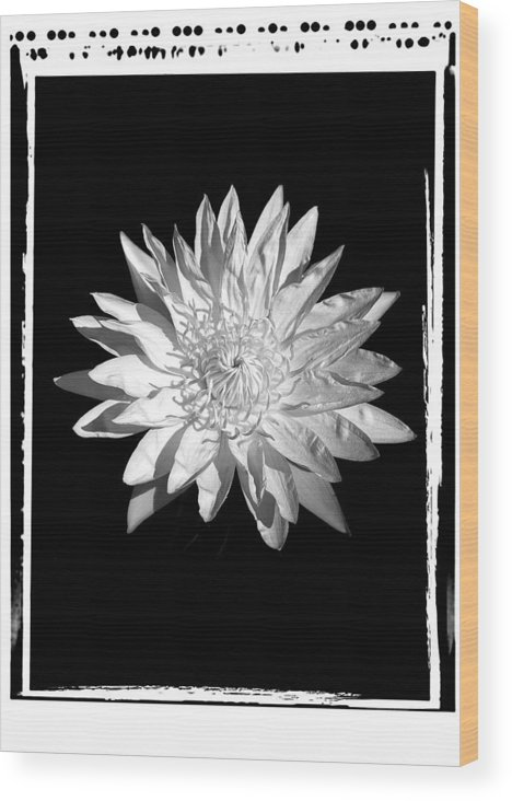 Water Lilly Flower Black White Wood Print featuring the photograph Water Lilly II by William Haney