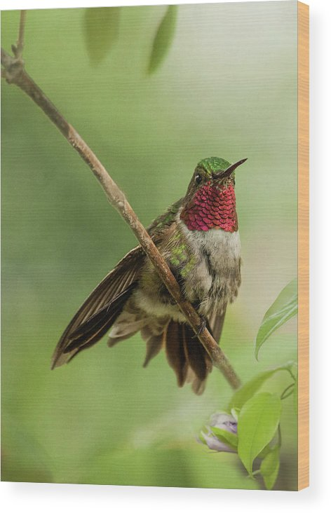 Animal Themes Wood Print featuring the photograph Ruby Hummingbird With Passion Bud by Melinda Moore