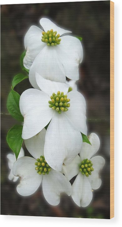 Dogwood Blossoms Wood Print featuring the photograph Baby Bloomers by Carolyn Fletcher