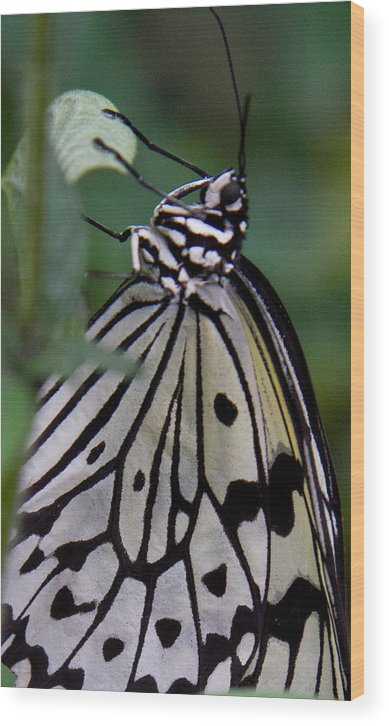 Butterfly Wood Print featuring the photograph Hanging On by Natalie Rotman Cote