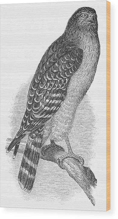 1890 Wood Print featuring the photograph Red-shouldered Hawk, 1890 by Granger