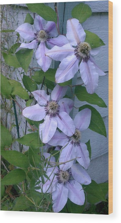 Clematis Wood Print featuring the photograph Wallflowers by Kevin D Davis