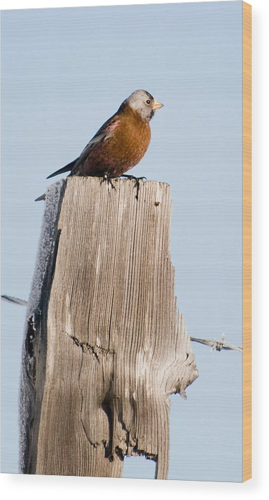 Photography Wood Print featuring the photograph Gray-crowned Rosy-finch by Joel Brady-Power
