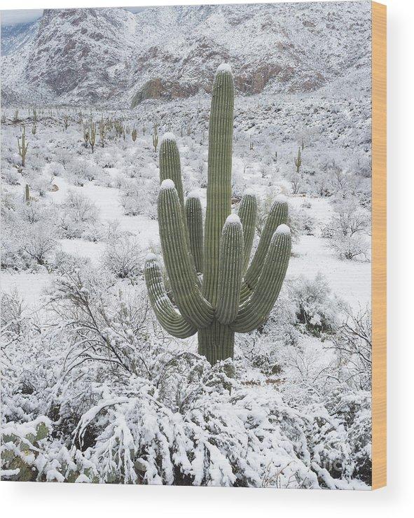 Arizona Wood Print featuring the photograph Saguaro Cactus After Rare Desert by John Shaw