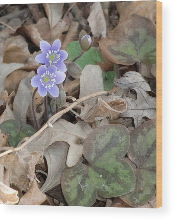 This Original Photograph Shows Harbingers-of -spring. These Tiny May Flowers Show A Small Burst Of Color Through The Leaves Of Last Fall. This Flower Is Known As Hepatica And Is A Common Wild Flower In Northern Wisconsin. After A Few Days Of Bloom The Plant Can Only Be Found By The Distinctive Leaves Hugging The Ground Soon To Be Covered With Other Plants.  Wood Print featuring the photograph May Flowers by Lisa Amport