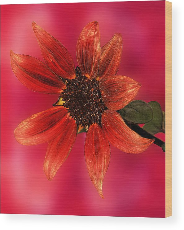 Nature Wood Print featuring the photograph Sunflower In Red by Viktor Savchenko