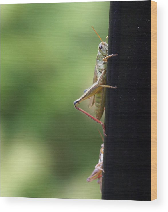 Grasshopper Wood Print featuring the photograph Grasshoppers by Katherine Huck Fernie Howard