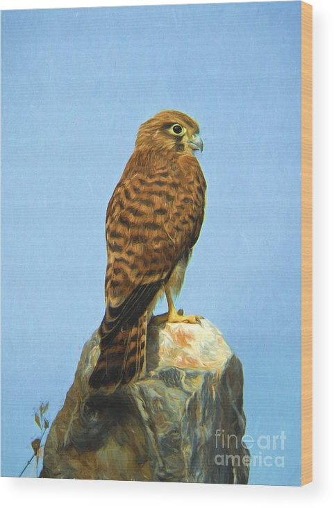 Common Kestrel Wood Print featuring the digital art Common Kestrel Falco Tinnunculus by Perry Van Munster