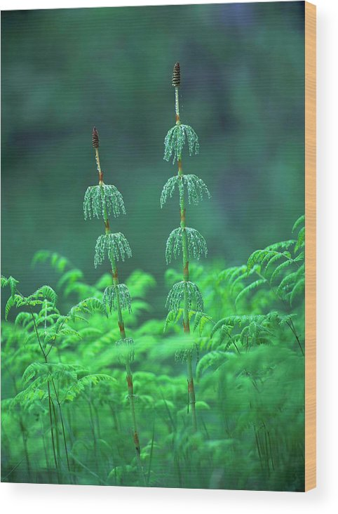 Equisetum Sylvaticum. Wood Print featuring the photograph Horsetails by Bjorn Svensson/science Photo Library