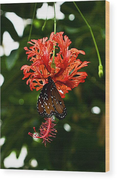 Butterflies Wood Print featuring the photograph Monarch Ins 42 by G L Sarti