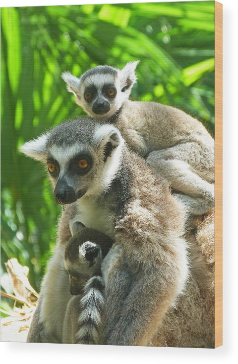 Ring-tailed Lemur Wood Print featuring the photograph The Twins - Ring-tailed Lemurs by Margaret Saheed