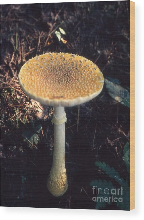Mushrooms Wood Print featuring the photograph Mushroom by Richard Amble
