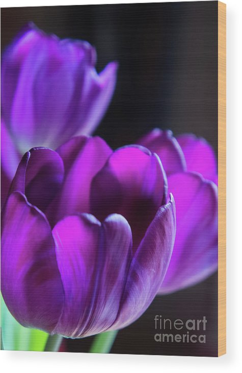 Flora Wood Print featuring the photograph Purple Tulips 1 by Jill Greenaway