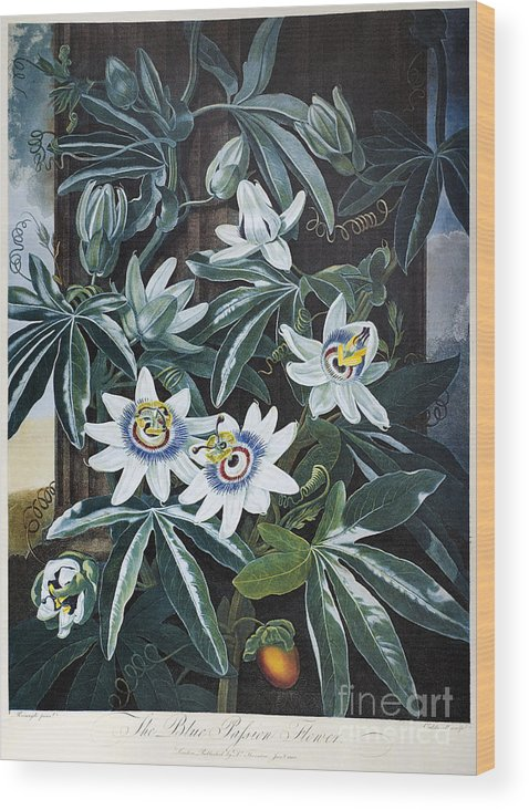 1800 Wood Print featuring the photograph Thornton: Passion-flower by Granger