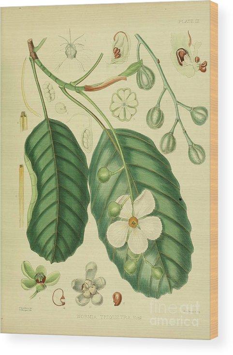 Botanical Wood Print featuring the digital art Vintage Botanical Illustration by Alexandr Testudo