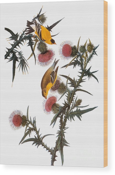 1838 Wood Print featuring the photograph Goldfinch by John James Audubon
