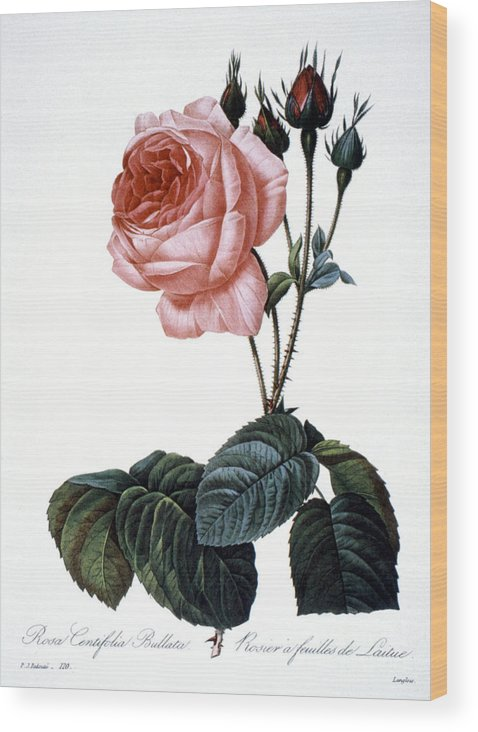 1833 Wood Print featuring the photograph Cabbage Rose by Granger