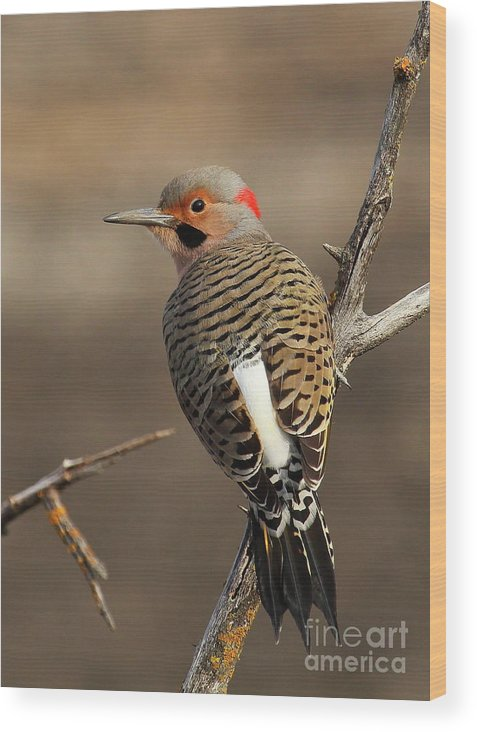 Northern Yellow Shafted Flicker Wood Print featuring the photograph Northern Flicker On Branch by Gail Huddle