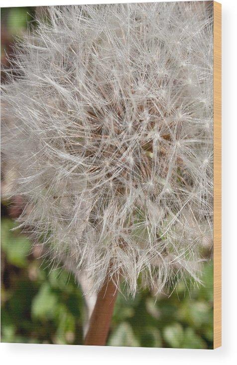 Flower Wood Print featuring the photograph Seedlings by Hannah Breidenbach