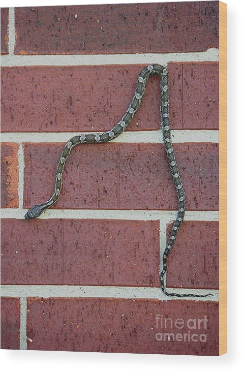 Nature Wood Print featuring the photograph Snaking Down A Brick Wall by Lucyna A M Green