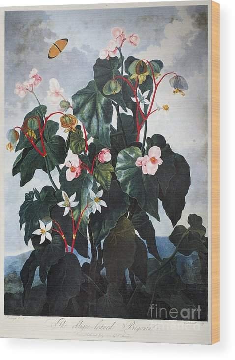 1800 Wood Print featuring the photograph Thornton: Begonia by Granger