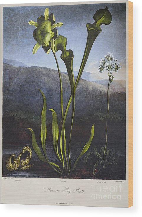 1806 Wood Print featuring the photograph Thornton: Bog Plants by Granger