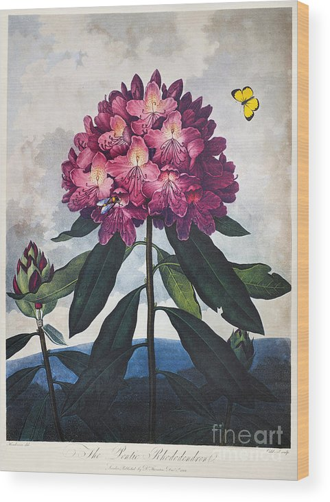 1802 Wood Print featuring the photograph Thornton: Rhododendron by Granger