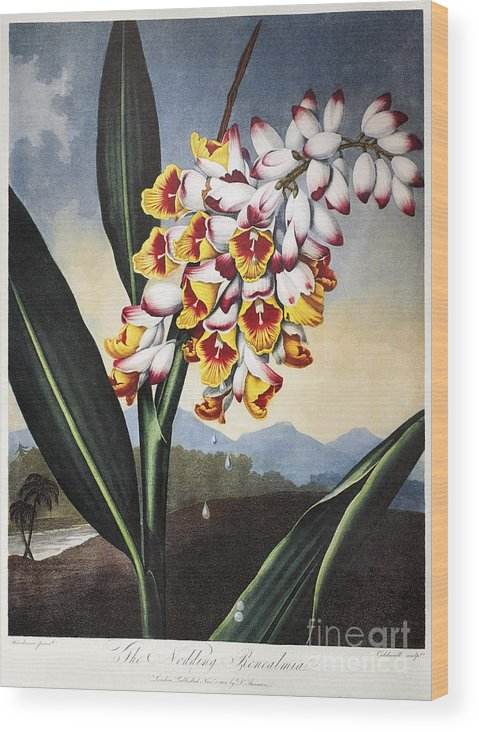 1801 Wood Print featuring the photograph Thornton: Shell Ginger by Granger