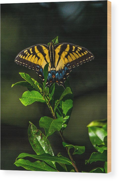 Nature Wood Print featuring the photograph Western Tiger Swallowtail by Alicia Collins