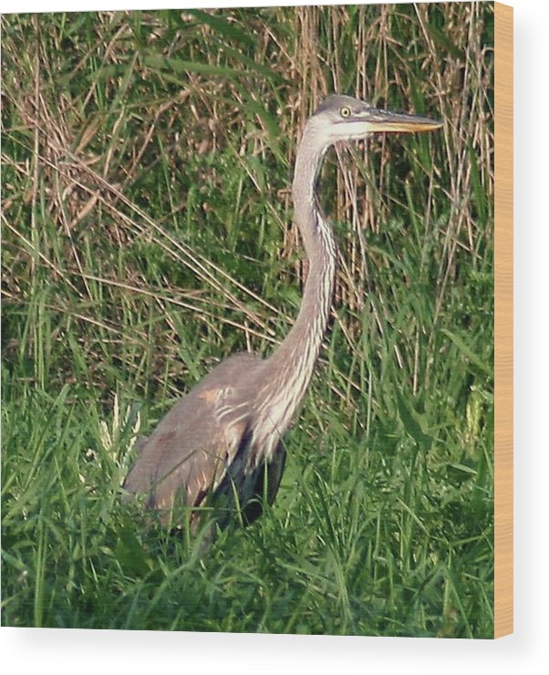 Herons Wood Print featuring the photograph Blue Heron by Vincent Duis